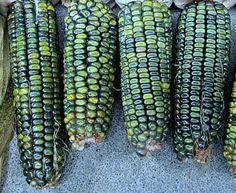 Oaxacan Green Dent Corn 50 bulk seeds gorgeous by SmartSeeds Rainbow Corn, Rainbow Fruit, Home Grown Vegetables, Fruits And Vegetables, Glass Gem Corn, Bean Plant, Gothic Garden, Colorful Plants, Gardens