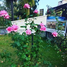 Le rose del Caesar Palace Hotel
