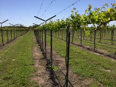 Young Black Spanish vines- Early Spring- 2016