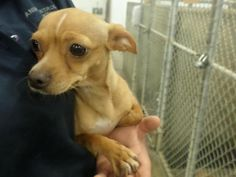 URGENT!!*** Meet 14-0012375 a Petfinder adoptable Chihuahua Dog | Odessa, TX | Adoptable on 5.28.14 $51 cash or check ONLY