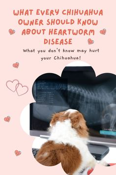 heartworm disease is something every Chihuahua owner should know about all year round #heartwormprotection, #heartwormdisease, #heartwormsindogs, #chihuahuacare, #chihuahuapuppies, #chihuahuadogs, #chihuahuamix, #chihuahuafacts, #chihuahuaarticles, #chihuahuahelp, #chiwawa, #chihuahuahealthissues, #chihuahuaproblems, #chihuahuawebsite, #chi, #littledogs, #tinydogs, #minidogs Chihuahua Facts, Disease Symptoms, Chihuahuas, Parenting, Dogs, Chihuahua Dogs, Pet Dogs, Chihuahua, Doggies