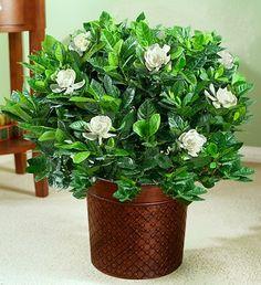 gardenia #FlowerShop