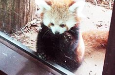 This guy checking out the goods… | The 27 Best Red Panda GIFs Of All Time