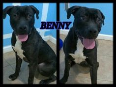 Petfinder  Adoptable | American Staffordshire Terrier | Dog | Flushing, NY | Benny