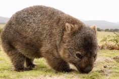 Cute Wombat, Beef Farming, Penguin Images, The Wombats, Take Shelter, Ocean Photography, Photography Tips, Tasmania, Brown Bear