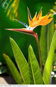 Birds of paradise.