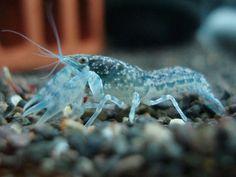 Blue Dwarf Crayfish -  (http://www.eliteinverts.com/blue-dwarf-crayfish/)