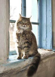 Easy-going, affectionate and friendly, the Maine Coon cats personality is friendly but do they make good pet cat to own as a companion? Pretty Cats, Beautiful Cats, Animals Beautiful, Pretty Kitty, Beautiful Things, I Love Cats, Crazy Cats, Cool Cats, Animal Gato