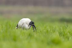 Ibis sacré - African Sacred Ibis - Ibis sagrado - Ibis sacro - Heiliger Ibis ( Threskiornis aethiopicus ) by Riccardo Trevisani on 500px