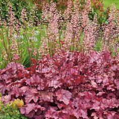 Heuchera are evergreen plants. Mounds of attractive scalloped foliage with clusters of small, coral pink bells in spring and summer.  They are ideal for borders, tub plating and good for planting underneath medium sized shrubs or trees. The foliage is that beautiful and colourful you wish that they would never bloom.