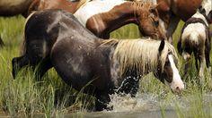 Chincoteague Pony Swim 2014