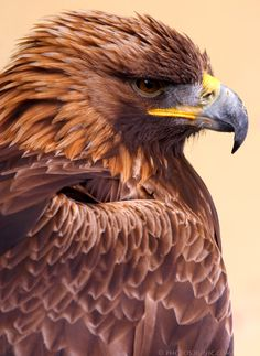 Regal Golden Eagle - by runique