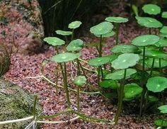 Hydrocotyle Vulgaris Planta Para Acuario (sombrerillo)