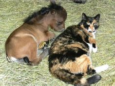 "Cat and mini pony. The cat's all ""Do you feel lucky today? Go ahead, bother the pony"". Tiny Horses, Cute Horses, Beautiful Horses, Animals Beautiful, Pretty Horses, Simply Beautiful, Cute Baby Animals, Funny Animals, Funny Cats"