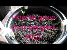 How to grow your peppers FAST