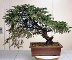 Picea Abies Bonsai in progress