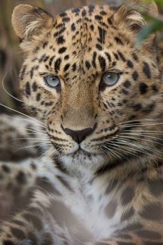The rarest of leopards, the Amur Leopard. by Lisa Diaz Leopard Cub, Clouded Leopard, Leopard Animal, Cheetah, Leopard Tattoos, Beautiful Cats, Animals Beautiful, Animals And Pets, Cute Animals