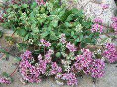 Hylotelephium ewersii (Sedum ewersii) – Pink Mongolian Stonecrop - See more at: http://worldofsucculents.com/hylotelephium-ewersii-sedum-ewersii-pink-mongolian-stonecrop