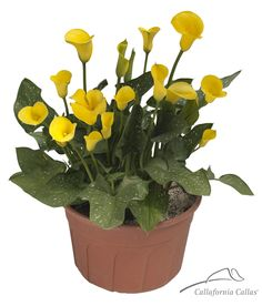 Calla lily bulbs for sale from Golden State Bulb Growers, Inc - the largest producer of Calla Lilies. Shop calla lily bulbs from California now! Calla Lillies, Calla Lily, Bulbs For Sale, Pots, Calla Lilies, Colour, Cookware, Zantedeschia Aethiopica, Jars