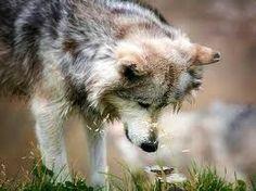 A farkasok nem vérszomjas vadállatok, hanem értelmes érző lények. De éppen ezért nem halhatnak éhen. A youtube-ba ezt írjátok be: A farkasok átalakítják a folyókat... Hihetetlen...