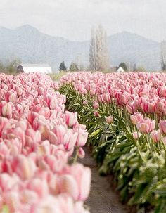 Tulip fields.
