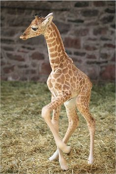 Baby giraffe trying out his legs