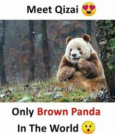 This is Qizai, the worlds only brown panda. He was bullied as a child as he was motherless and other pandas would steal his food. He now lives like a celebrity at the Foping Panda Valley. Cute Funny Animals, Cute Baby Animals, Funny Cute, Animals And Pets, Some Amazing Facts, Interesting Facts About World, Unbelievable Facts, Wow Facts, Weird Facts