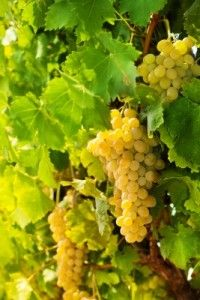 The Forgotten Grapes of Champagne