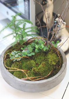 The wooden vines going in and out of the moss; very textured and whimsical. Garden Terrarium, Succulent Terrarium, Garden Plants, Indoor Plants, Indoor Herbs, Succulents Garden, Water Garden, Air Plants, Cactus Plants