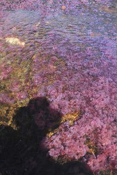 Vive un experiencia única en caño cristales. Come visit the most beautiful river in the world. #cañocristales #riocristal #ecoturismo #macarenameta #colorfulriver #travalers #destinations