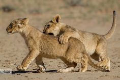 Photograph Cubs at play by Onephotography Photographic Safaris on 500px