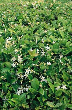 Asian Star Jasmine - Monrovia - Asian Star Jasmine; evergreen ground cover can grow to 12 inches