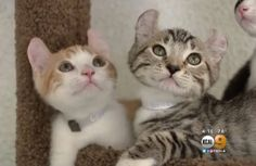 Stray Cat Mama Surprises Shelter with Her Unusual Looking 'Hemingway' Kittens