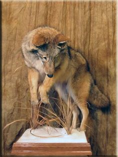 Coyote - Would love to have one mounted like this...