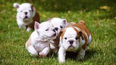 Wallpapers * Baggy Bulldogs Bulldog Wallpaper, French Bulldog, English Bulldogs, Bullying, Animals, Wallpapers, Blog, Animales, Animaux