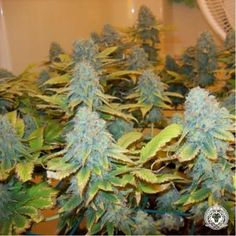 Aurora Indica cannabis seeds, is a typical Indica dominant plant with all its popular aspects namely, high level THC & CBD which, will blow your mind.