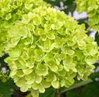 Buy hydrangea Hydrangea paniculata 'Little Lime': Award for Bee Pollinator
