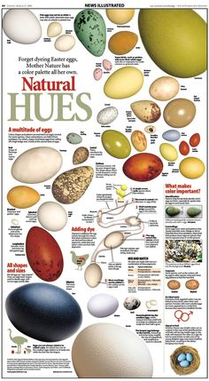 Psychology infographic and charts Natural Hues: A Multitude Of Eggs. Infographic Description Natural Hues: A Multitude Of Eggs Backyard Birds, Chickens Backyard, Garden Birds, Bird Egg Identification, Information Graphics, Chicken Eggs, Make Color, Bird Feathers, Farm Animals