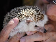 Opinion why do hedgehogs lick themselves consider, that