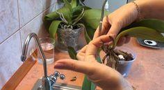 Így élesszük fel az orchideáinkat, hogy ismét virágba boruljanak! - Filantropikum.com