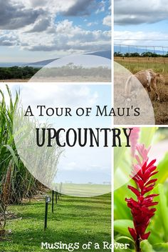 Did you know that Maui has a countryside where farms abound? I certainly didn't until I started making an itinerary. Find out which two stops you need to add to your Maui Upcountry tour!