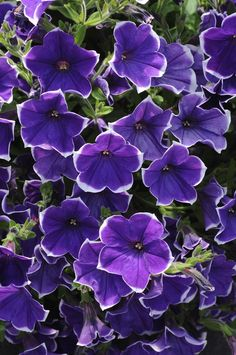 Rhythm and Blues petunia is looking lovely near our entrance. http://media-cache7.pinterest.com/upload/181410691210128378_JvRe8otP_f.jpg cbsimmons landscapes gardening outdoor living