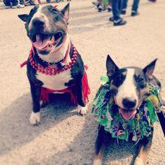Mardi Gras Bull Terriers