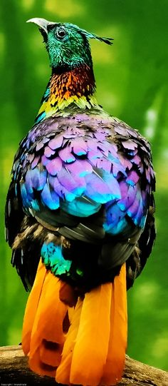 Himilayan Monal - A stunningly colourful member of the pheasant family, the Himalayan monal is the national bird of Nepal (Wonder of Nature Life & Beauty ) Kinds Of Birds, All Birds, Love Birds, Pretty Birds, Beautiful Birds, Animals Beautiful, Exotic Birds, Colorful Birds, Colorful Animals