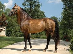 GabCreek Farm: Foundation Morgan Horses. Home of PKR Primavera Brio Buckskin Stallion