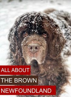 The brown Newfoundland dog is an acceptable color in the United States, Brown Newfies may be all brown or have small patches of white on their chin, chest, toes and tail. All About The Brown Newfoundland Dog - My Brown Newfies Dog Grooming Tips, Dog Grooming Supplies, Brown Newfoundland Dog, Dogs With Jobs, Purebred Dogs, Types Of Dogs, Dog Care Tips, Dog Show, Working Dogs