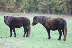 Anita on Left and Amanda on Right  AMHR Registered  Both mares sired by Silver Meadows Jet Set Go  Both in foal for 2013 to McCarthys Hershe Swirl