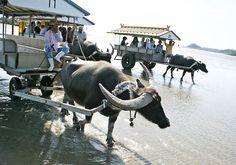 Water buffalo rush hour in Yaeyama Islands Yubu & Iriomote, Okinawa, Japan
