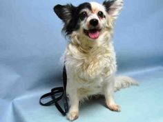 SUPER URGENT 1-2-2016 ***SENIOR ALERT** Brooklyn Center BARTOW – A1062000  UNKNOWN GENDER, WHITE / BLACK, PAPILLON, 10 yrs STRAY – STRAY WAIT, NO HOLD Reason STRAY Intake condition EXAM REQ Intake Date 01/02/2016, From NY 11212, DueOut Date 01/05/2016, Urgent Pets on Death Row, Inc