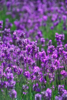benefits of lavender 2 +lavender skin soother spray recipe